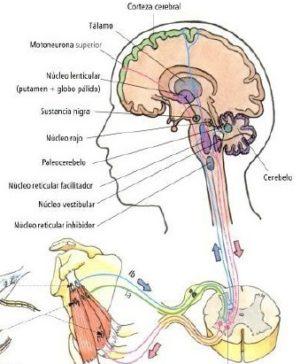 control de los musculos de la espalda